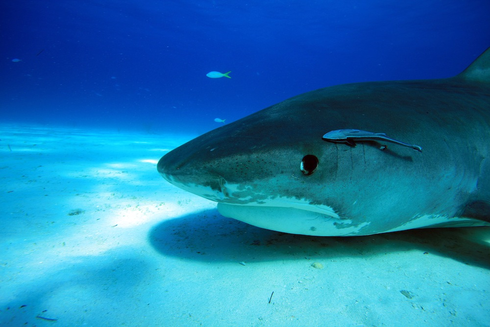 the characteristics of the tiger sharks a species of requiem sharks Types of sharks the oceanic whitetip shark: a lonely hunter some requiem sharks  dusky shark, silky shark and tiger shark.